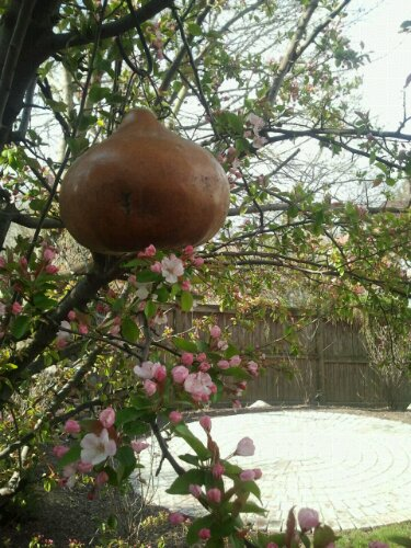 apple blossoms with bird house gourd and patio