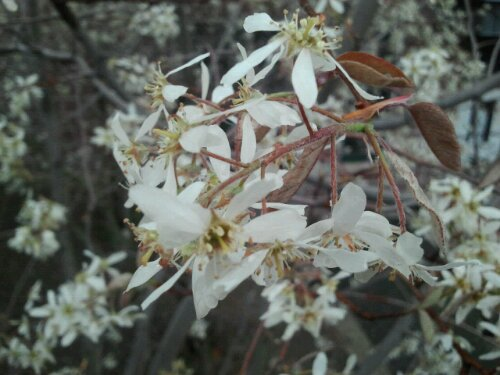 amelanchier flowers
