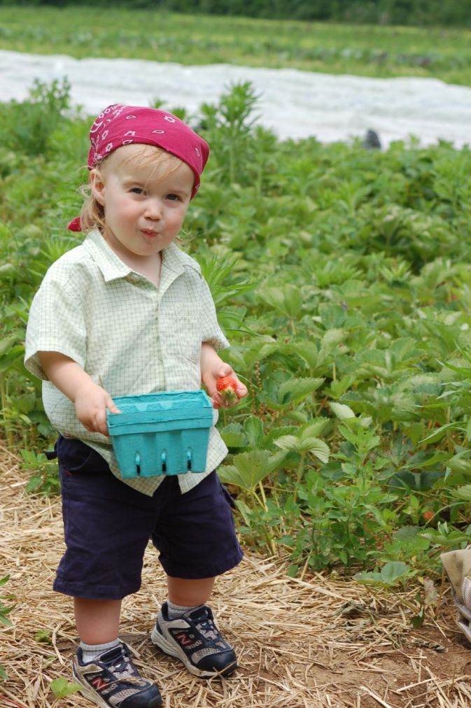 Cute toddler eating strawberries in a field