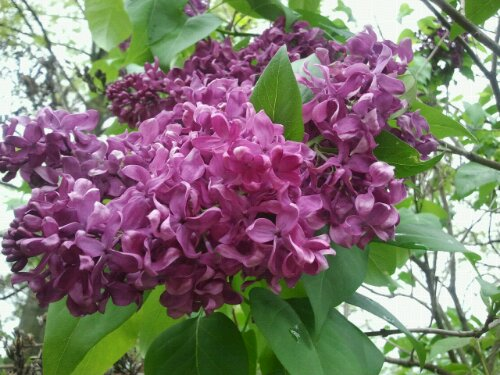 Lilac blossoms