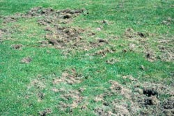 Japanese beetle damage in lawn