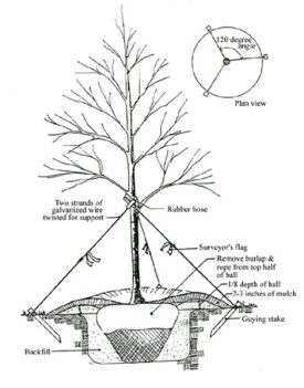 Tree Staking Diagram