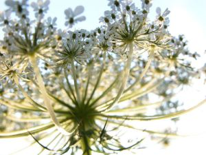 Queen Anne's Lace against a blue sky