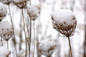 Queen Anne's Lace in snow