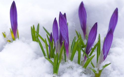 purple crocus in snow